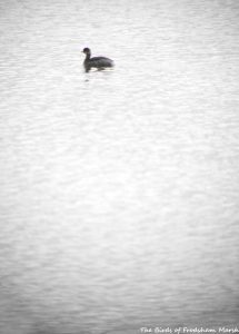26.09.15. (winter) Black-necked Grebe, No.6 tank, Frodsham Marsh. Bill Morton (3)