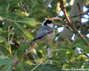 27.09.15. Coal Tit, Brook Furlong Lane, Frodsham Marsh. Alyn Chambers (2)