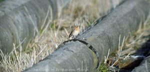 22.09.15. Wheatear, No.1 tank, Frodsham Marsh. Bill Morton.