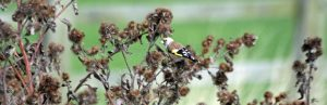 15.09.15. Goldfinch inmoult, No.1 tank, Frodsham Marsh. Paul Ralston