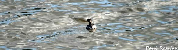 15.09.15. Black-necked Grebe, No.6 tank, Frodsham Marsh. Paul Ralston