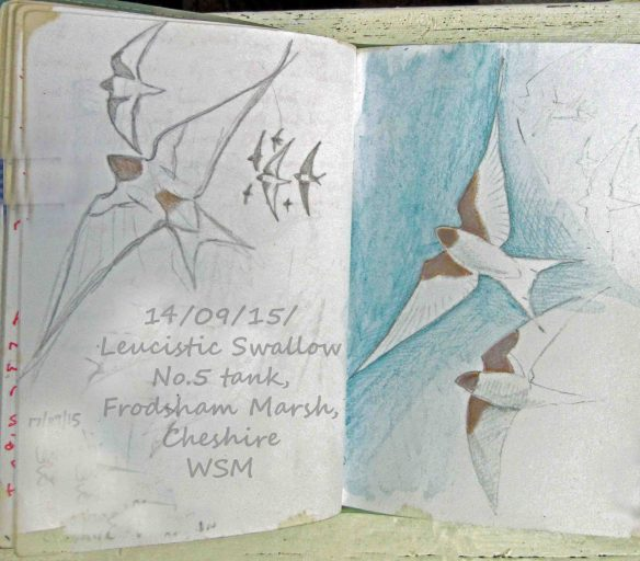 14.09.15. Leucistic Swallow sketch, No.5 tank, Frodsham Marsh. Bill Morton