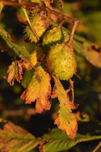 01.10.15. Horse Chestnut 'conker', No.1 tank, Frodsham Marsh. Bill Morton