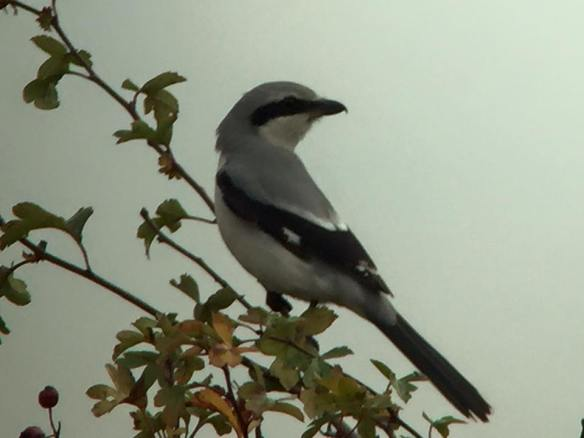 15.10.15. Great Grey Shrike, I,C.I tank, Frodsham Marsh. Paul Miller