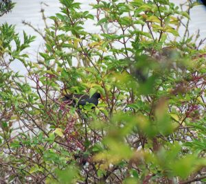 14.10.15. Moorhen in elder tree, No.6 tank, Frodsham Marsh. Bill Morton.