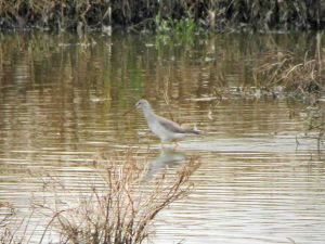14.10.15. Spotted Redshank, No.6 tank, Frodsham Marsh. Bill Morton.