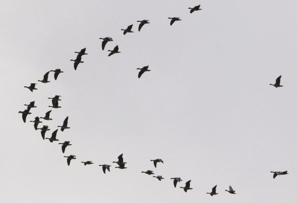 17.10.15. Pink-footed Goose over Redwall reed bed, Frodsham Marsh. Tony Broome