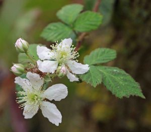 18.10.15. Bramble Blossom, Frodsham Marsh birds by Tony Broome (3)