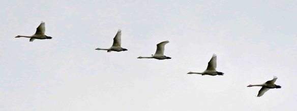 18.10.15. Whooper Swan, Frodsham Marsh birds by Tony Broome (6)