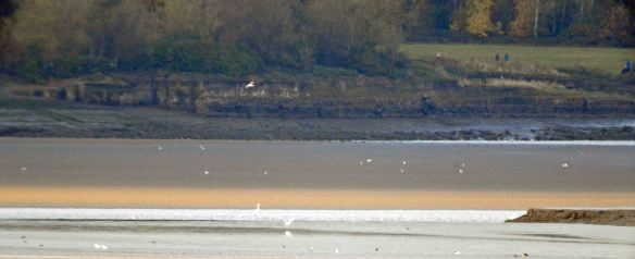 24.10.15. Great Whites Egrets as seen from Marsh Farm, Frodsham Marsh. Bill Morton (4)