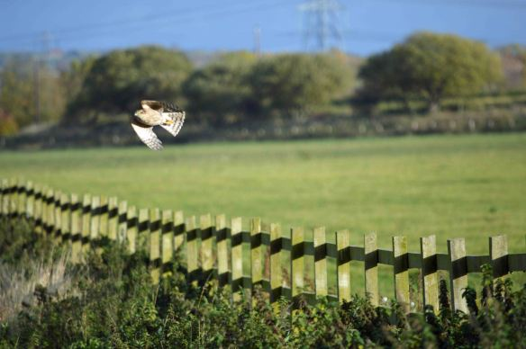 24.10.15. Sparrowhawk, No.1 tank, Frodsham Marsh. Bill Morton (3)