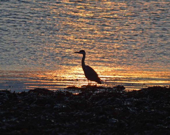 27.10.15. Grey Heron, Sunset, Moray Forth. Bill Morton (5)