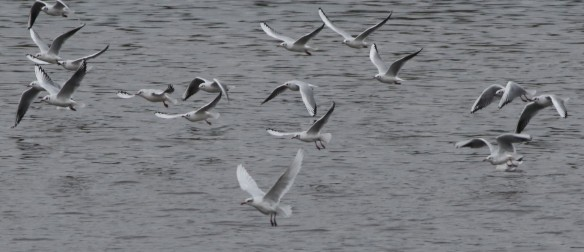31.10.15. Med Gull at Weaver Bend, From frodsham Marsh. Sean O'Hara