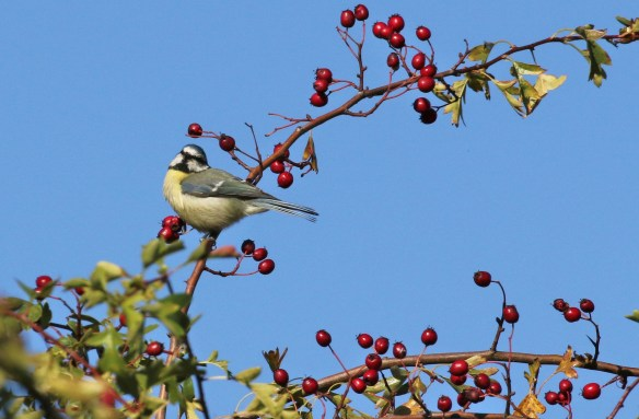 02.10.15. Blue Tit, Frodsham Marsh. Tony Broome