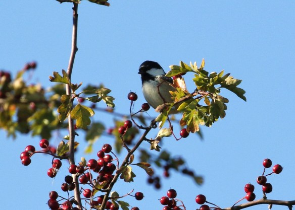 02.10.15. Cole Tit, Frodsham Marsh. Tony Broome