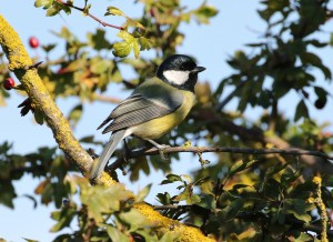 02.10.15. Great Tit, Frodsham Marsh. Tony Broome