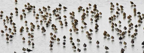 31.10.15. Golden Plover, No.6 tank, frodsham Marsh. Tony Broome