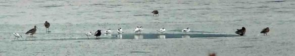 18.10.15. Avocets, Frodsham Score, Frodsham Marsh. Tony Broome