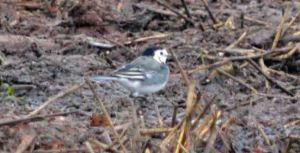 03.10.15. White Wagtail, Ince Marsh. Bill Morton