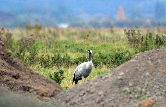 05.10.15. Common Crane, No.3 tank, Frodsham Marsh. Bill Morton