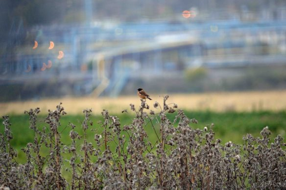17.10.15. male Stonechat, Marsh Farm, Frodsham Marsh. Bill Morton