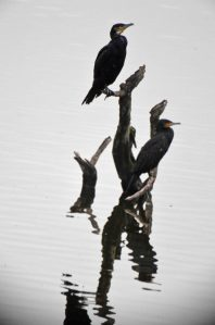 19.10.15. Cormorant, No.6 tank, Frodsham Marsh. Bill Morton