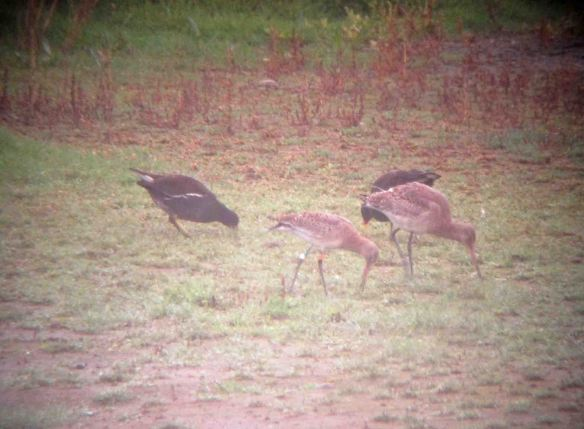 07.11.15. Black-tailed Godwit (coloure ringed) No.6 tank, Frodsham Marsh. Bill Morton (17)