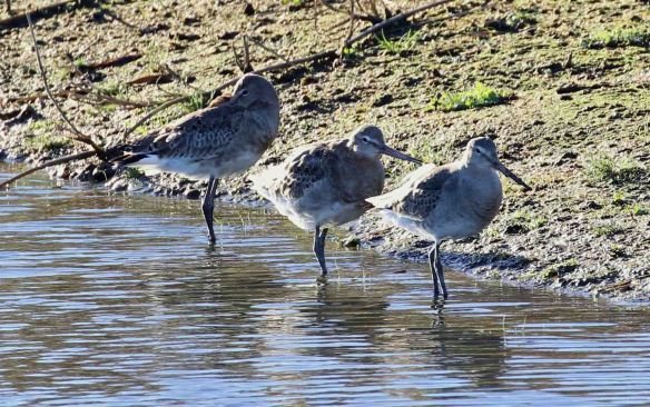 21.11.15. Black-tailed Godwit, Frodsham Marsh. Tony Broome (1)