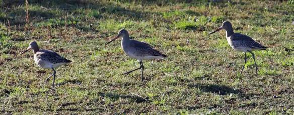 21.11.15. Black-tailed Godwit, Frodsham Marsh. Tony Broome (2)