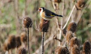21.11.15. Goldfinch, Frodsham Marsh. Tony Broome