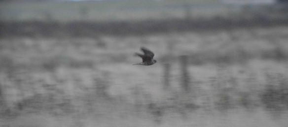 23.11.15. female Merlin, No.5 tank, Frodsham Marsh. Bill Morton