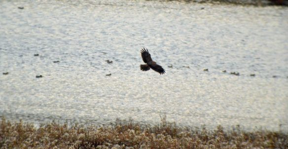 07.11.15. Marsh Harrier imm, No.6 tank, Frodsham Marsh. Bill Morton