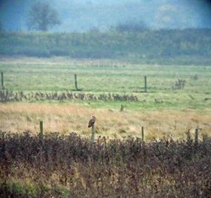 04.11.15. Short-eared Owl. No.5 tank, Frodsham Marsh. Bill Morton