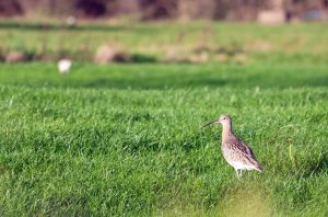 20.11.15. Curlew, Ince Marsh. Paul Ralston