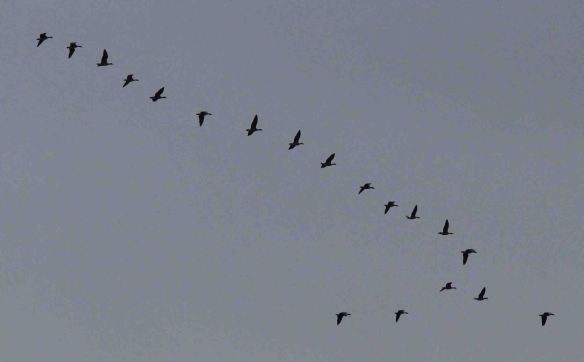 25.11.15. Pink-footed Geese, Frodsham Score. Paul Ralston