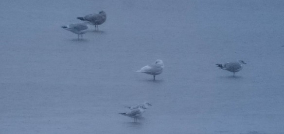 13.12.15. Iceland Gull, Pickerings Pasture. Ian Igglesden