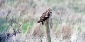 27.12.15. Short-eared Owl, No.5 tank, Frodsham Marsh. Findlay Wilde.
