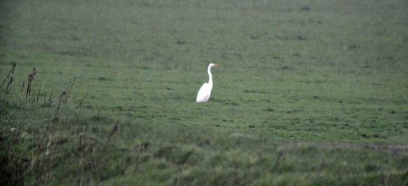 25.12.15. Great White Egret, Frodsham Score. Bill Morton - Copy
