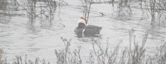 25.12.15. Green-winged Teal, No.6 tank Frodsham Marsh. Bill Morton (1)