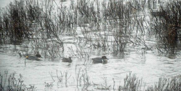 25.12.15. Green-winged Teal, No.6 tank Frodsham Marsh. Bill Morton (2) - Copy