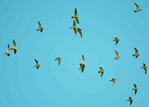 29.12.15. Golden Plovers, Ince Marsh. Shaun Hickey