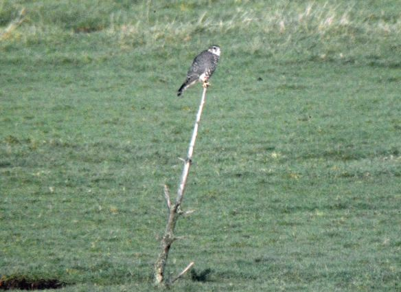 27.12.15. Merlin (female), Frodsham Score, Frodsham Marsh. Bill Morton