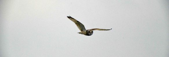 27.12.15. Short-eared Owl, No.5 tank, Frodsham Marsh. Bill Morton