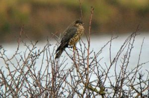 29.12.15. Merlin, Frodsham Marsh. Bill Morton
