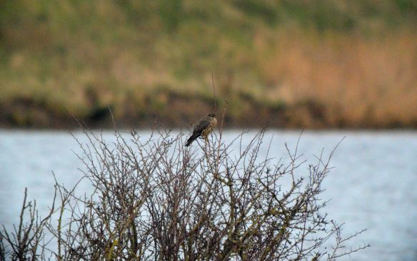 29.12.15. Merlin (female), Frodsham Marsh. Bill Morton