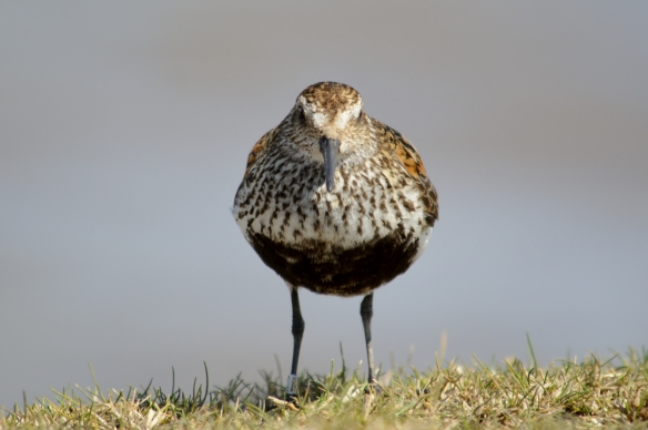 Dunlin by Shaun Hickey (6)