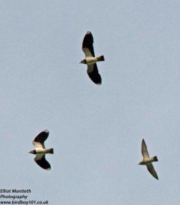 Frodsham Lapwing and Plover [200747]