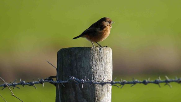29.12.15. Stonechat, Frodsham Marsh, Marsh. Findlay Wilde