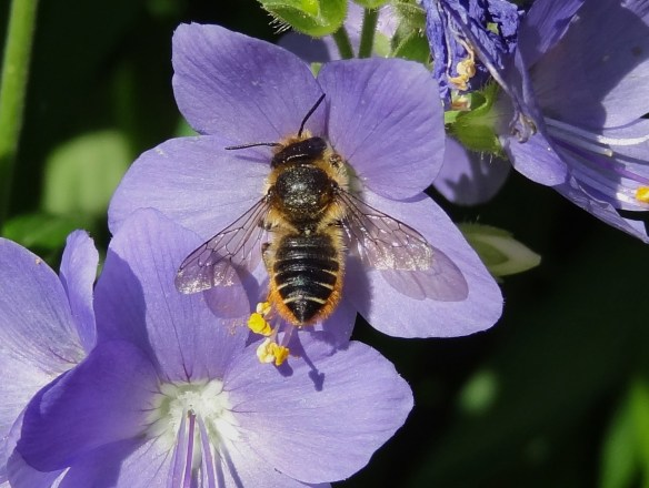 Patchwork Leafcutter Bee female Megachile centuncularis  7149