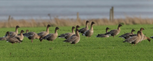 Pink Footed Geese 1 Hale 04 12 15. Mike Roberts